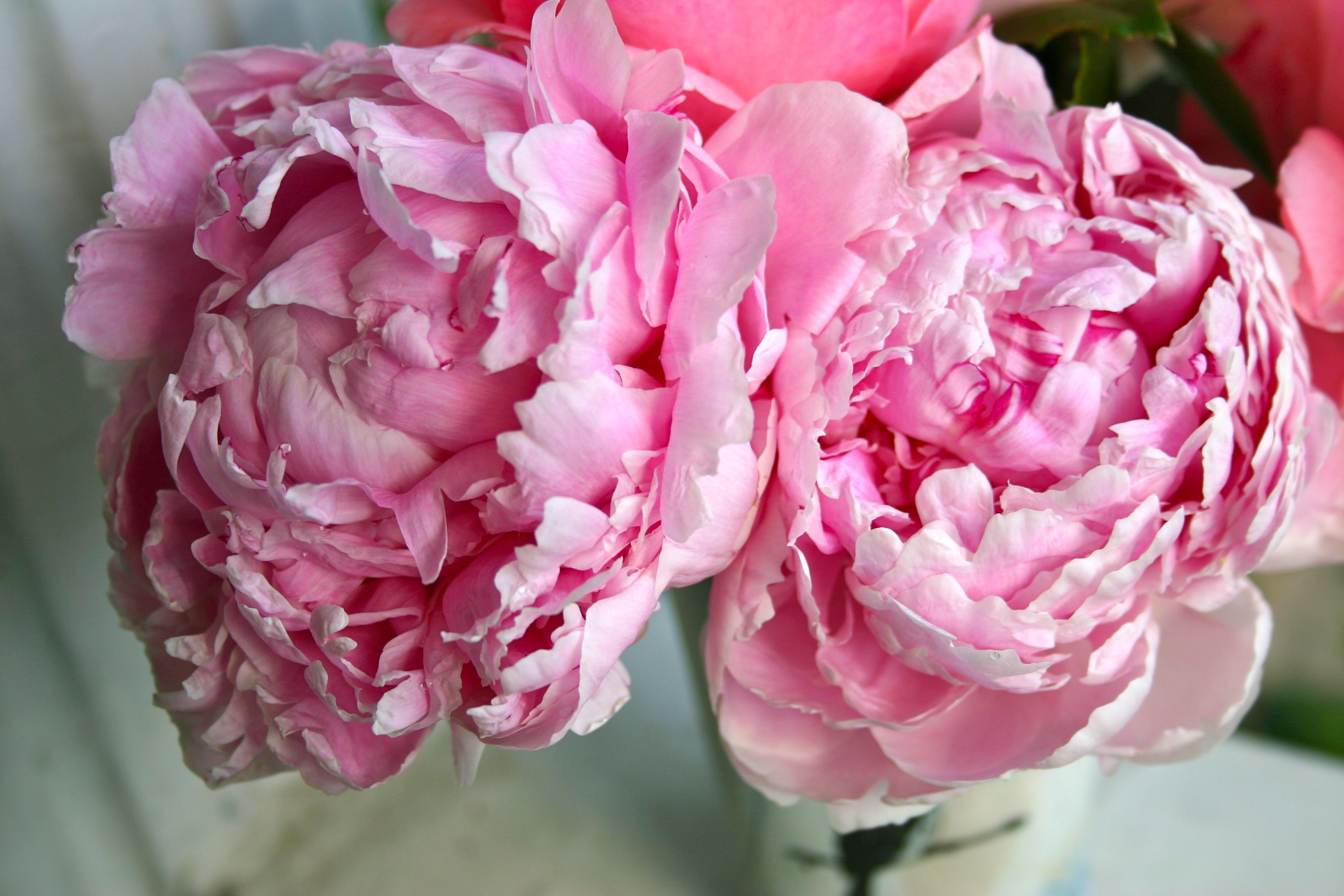 Pink Peonies and Rose - 8455