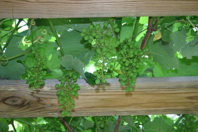 grapes-late may 1