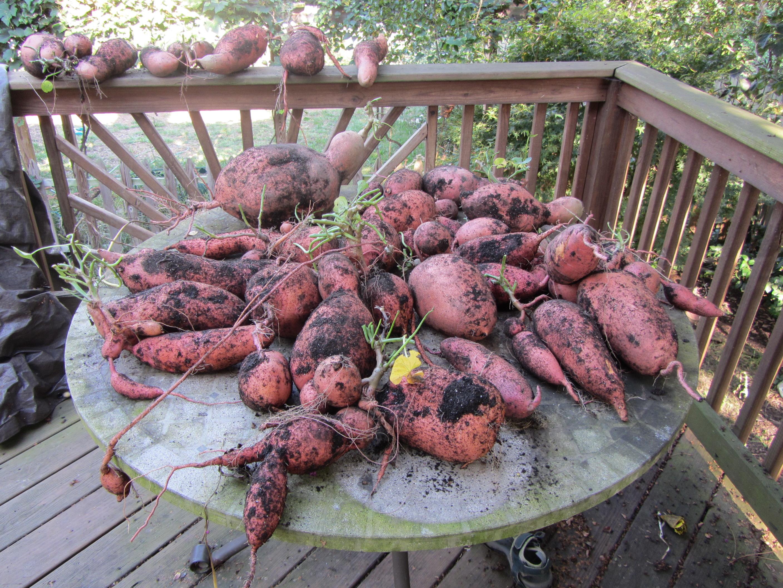 Sweet Potato Harvesting day
