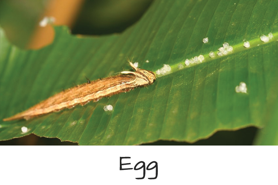Butterfly-Life-Cycle-egg