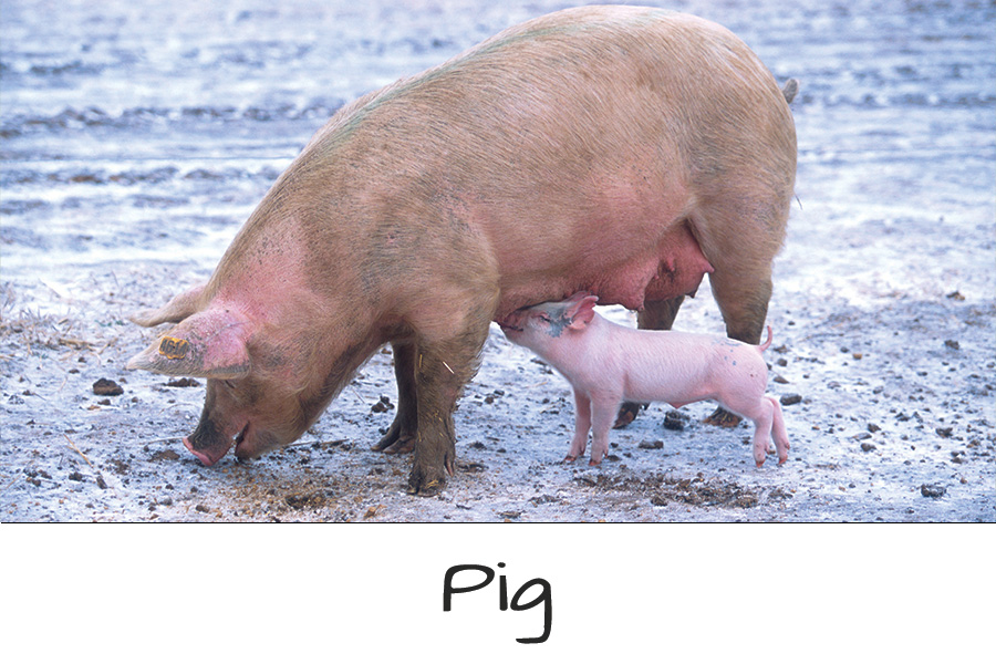 Farm-Animals-Pig